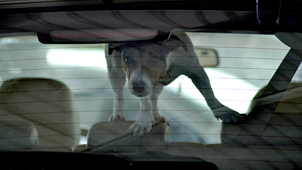The Danger of Leaving a Dog Alone in a Car
