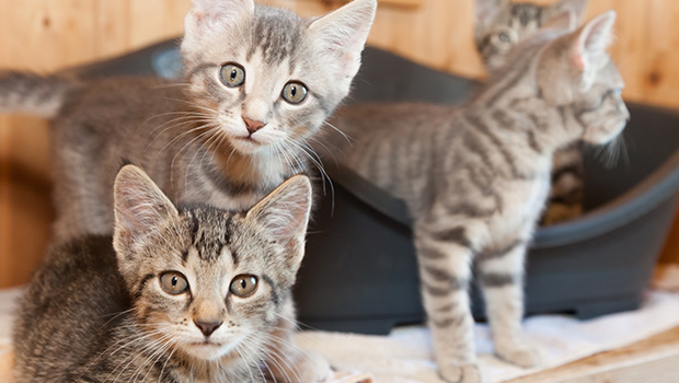 What is Kitten Socialization?